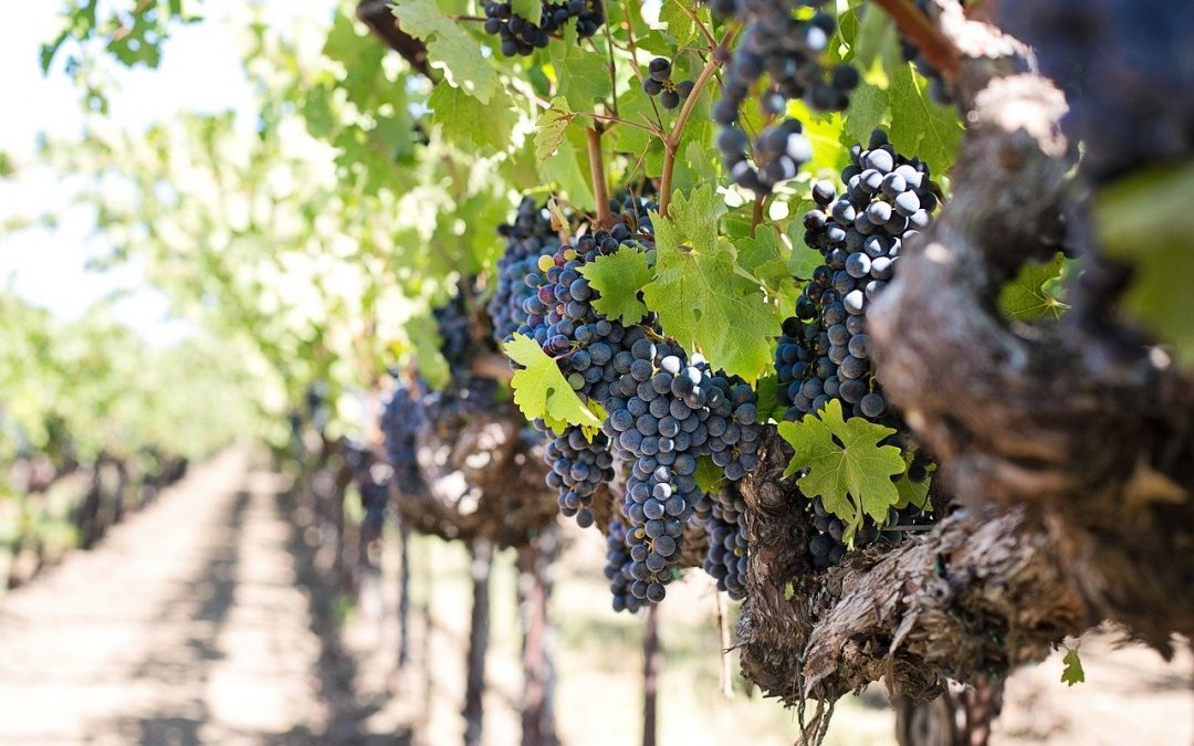 La vendemmia 2020: aspettando il vino nuovo